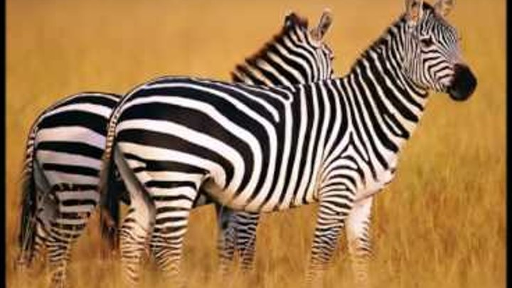 the background of the zebra Instant download - printable - wild animal print background (zebra, tiger, leopard, cow, giraffe) animal print paper, digital paper set.