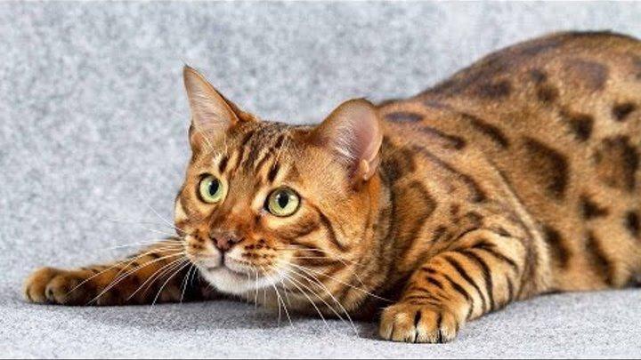 бенгальская кошка рисунки