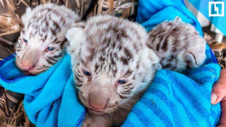 Трое редких тигрят родились в Крыму