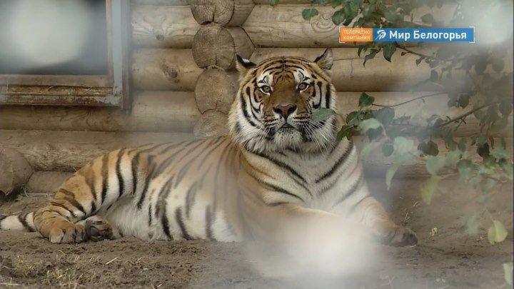 Бенгальский тигренок в Старооскольском зоопарке