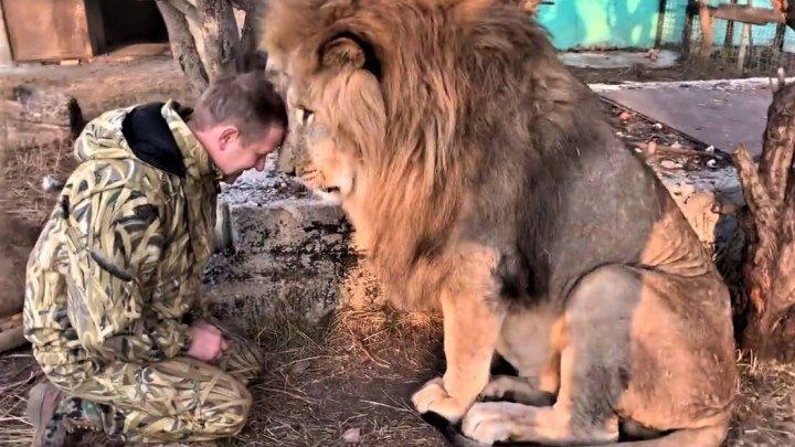 Человек-Лев! Это невероятно! Крымчанина Олега Зубкова львы признали вожаком