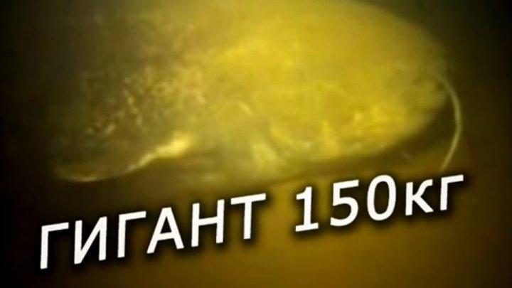 Самый большой Сом в мире на 150 кг под водой