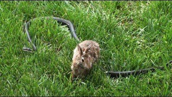 Кролик против змеи