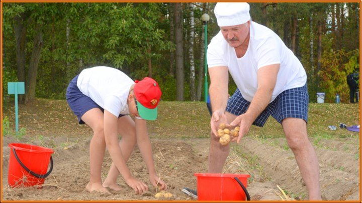 Лукашенко с младшим сыном убрал урожай картофеля и бахчевых в резиденции _Дрозды_2015_Беларусь