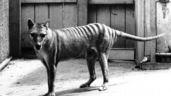 Вымершее животное.Тасманский сумчатый волк.