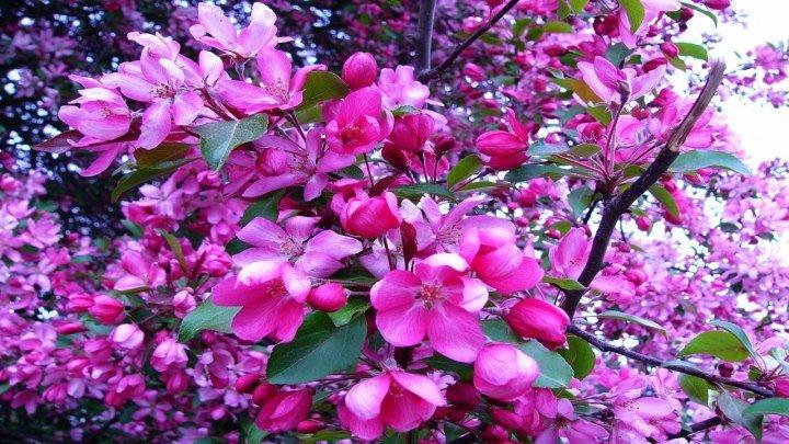 Романтическая весна. – Цветение сакуры в Японии