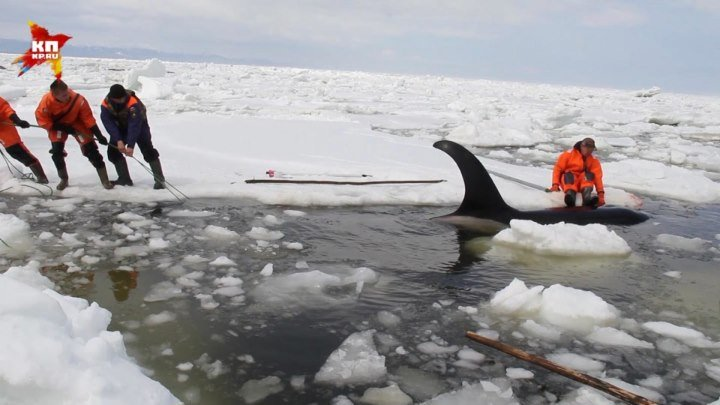 На Сахалине специалисты МЧС России спасли косаток, зажатых во льдах