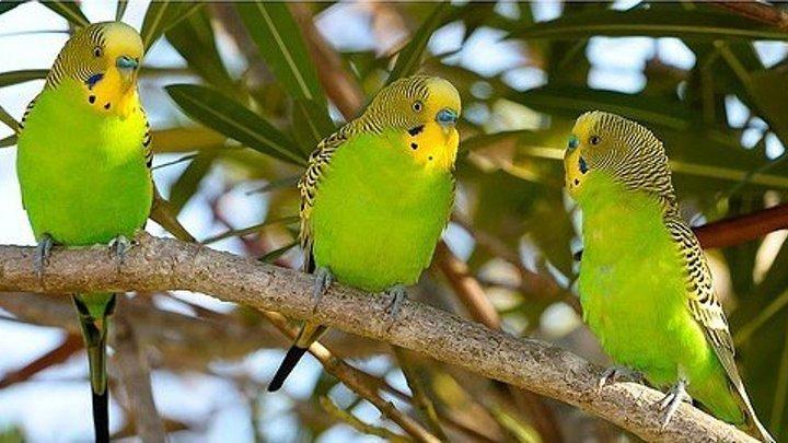 Волнистые попугайчики в дикой природе (документальный фильм для детей и взрослых)