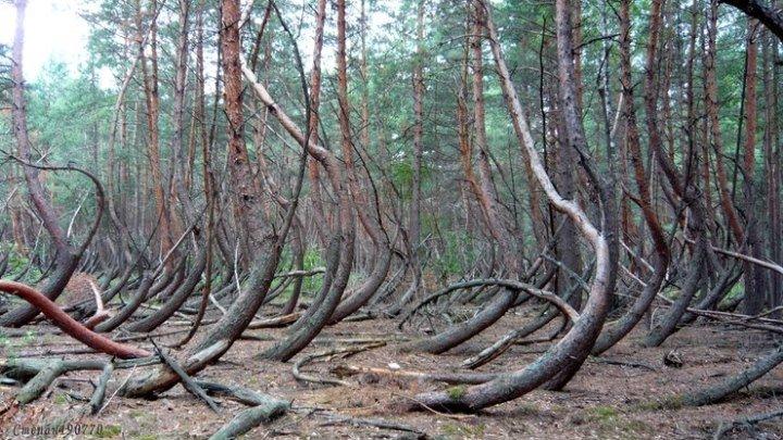 Аномальная зона 'Пьяный лес' Рязанская область (Дубровка)