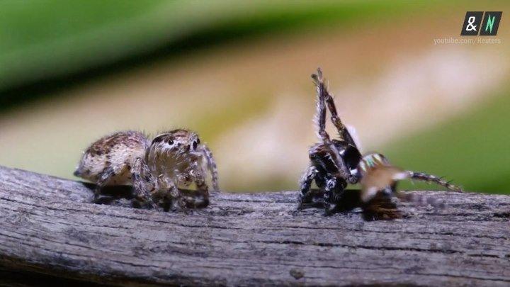 Танцующие пауки