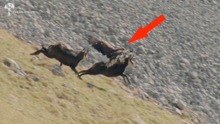Выжить любой ценой смертельная схватка орла и серны