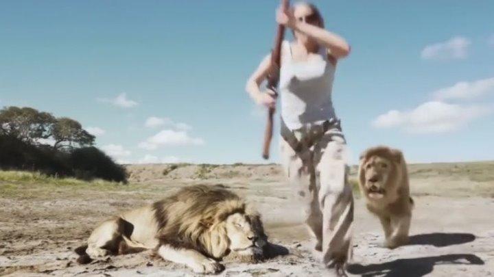 Лев отомстил охотникам - браконьерам убившим его друга