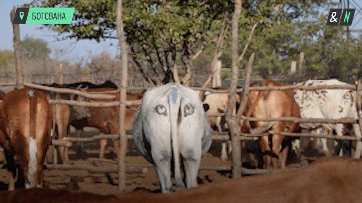 Зачем корове глаза у хвоста?