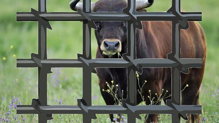 Под Ростовом 5 быков признали виновными в групповом изнасиловании коровы. Хозяина быков-насильников обязали выплатить штраф - 31 тысячу рублей.