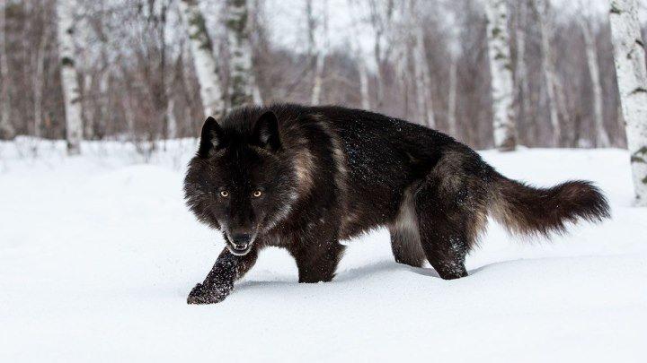 Черные волки. Волк одиночка. Альфа самец. Лучший охотник! Суперхищник!
