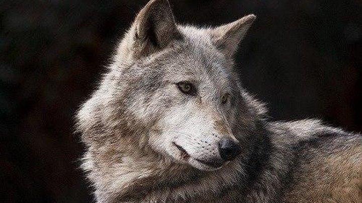 Исповедь волка.