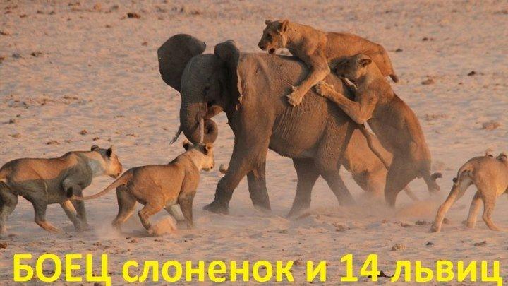 Молодой слоненок защищается от 14 львиц и побеждает