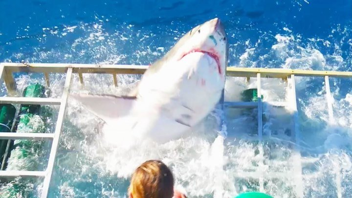 В Мексике гигантская белая акула прорвалась в клетку с дайвером