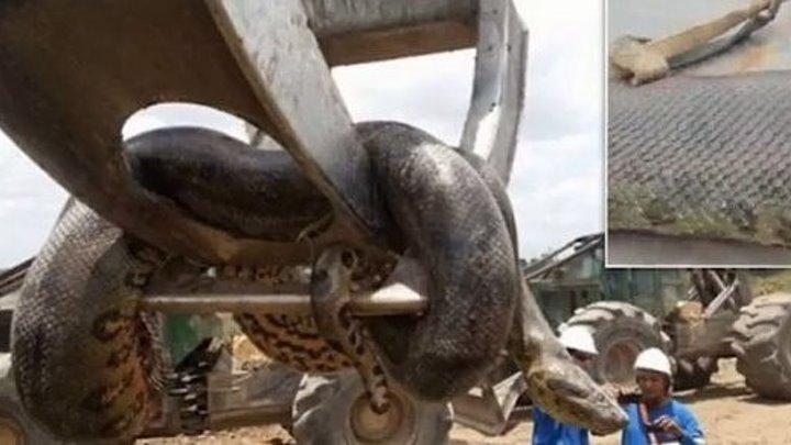 Самая крупная змея в мире найдена мертвой в Кыргызстане