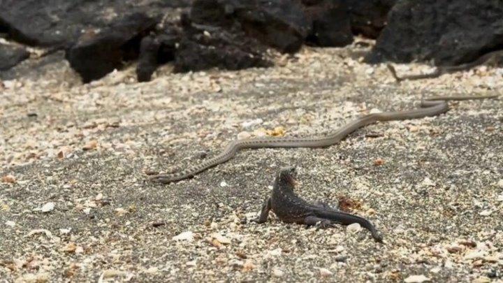 ЭТО НАДО ВИДЕТЬ! Эпичный побег детеныша игуаны от десятка змей (Галапагосские острова)