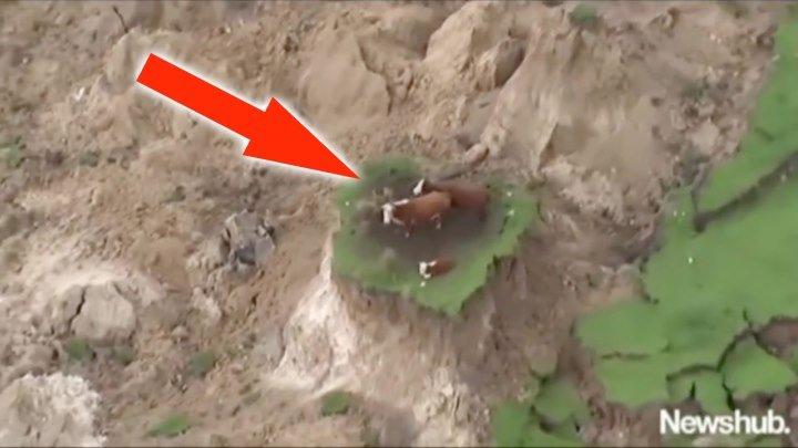 Три коровы после землетрясения оказались на необитаемом острове