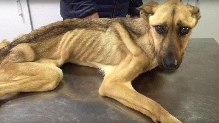 На грани смерти... Невероятное восстановление истощенной собаки, которая даже не могла стоять