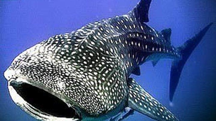 Китовая акула(док)