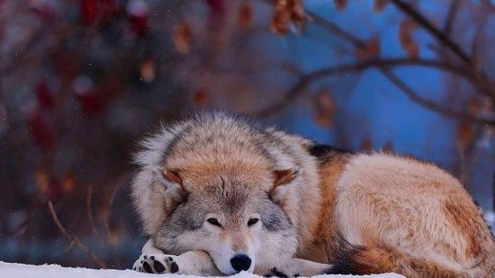 Танго одинокого волка - ZhenyaЕвгения