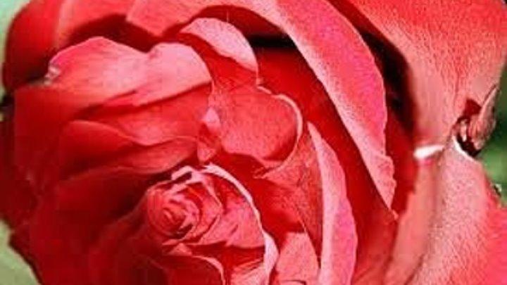 Погребок и роза [аудиокнига]