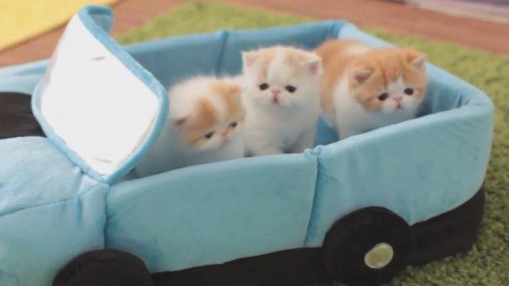 Три одномесячных котенка играют с мамой-кошкой