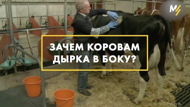 Зачем корове дырка в боку