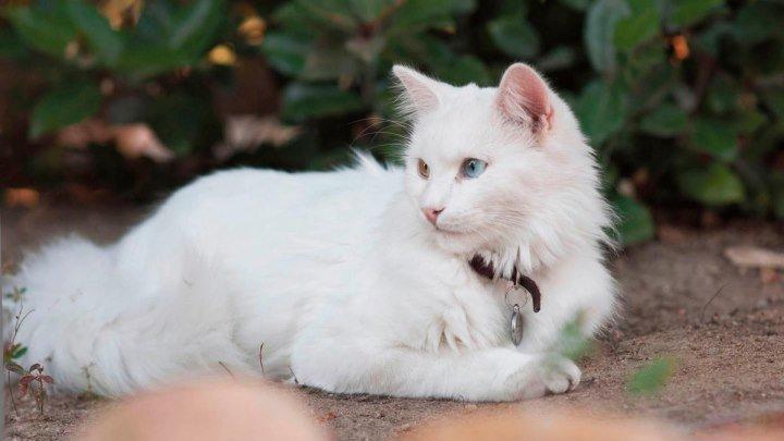 Порода кошек.Турецкая ангора.Пышная белая шерсть,и разные по цвету глаза