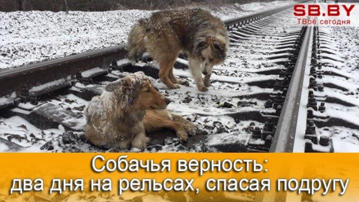 Пес двое суток ложился под поезд, спасая замерзающую подругу