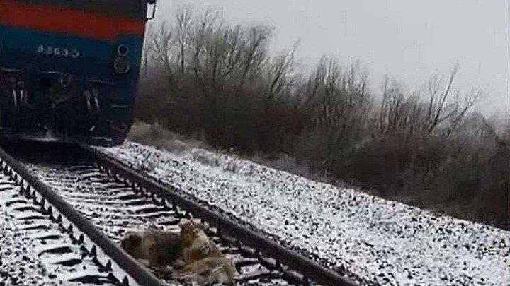 Обревелась... Пёс два дня ложился под поезд, охраняя раненую на рельсах собаку