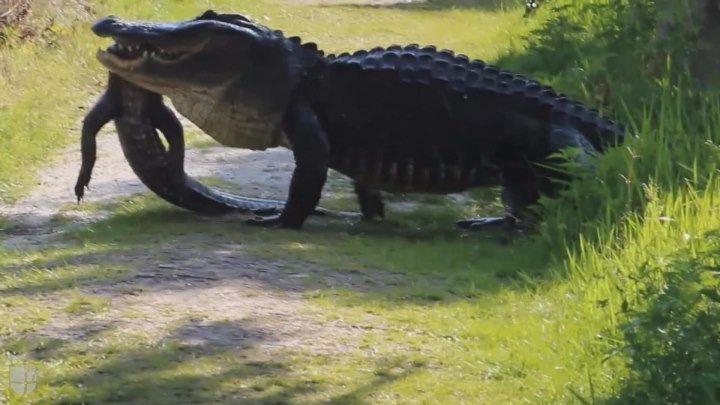 VIDEO: Caimán gigante se come a otro frente a un grupo de turistas