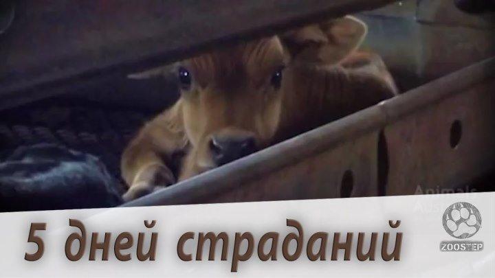 Молочные телята. 5 дней страданий