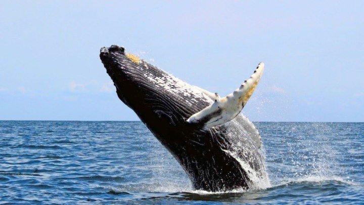 Большой синий кит. National Geographic