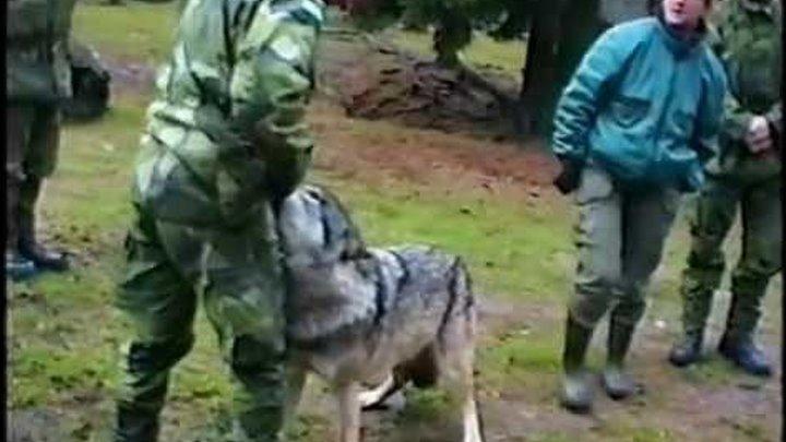 Волк нападает на работника зоопарка