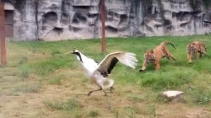 Журавль залетел в вольер к тиграм. Все думали, что его песенка спета! Но посмотрите, что случилось! Этот инцидент произошел в китайском зоопарке.