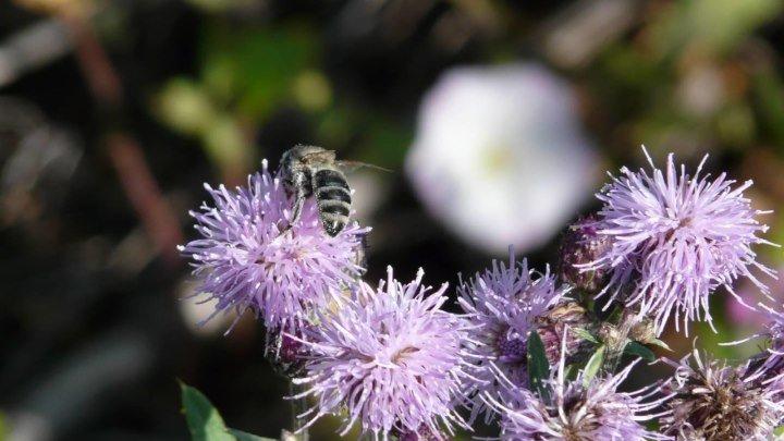 Бодяк полевой, или Розовый осот (лат. Cirsium arvense)