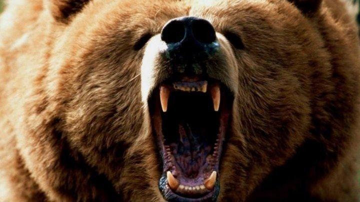 Медведи HD(семейный драма документальный)