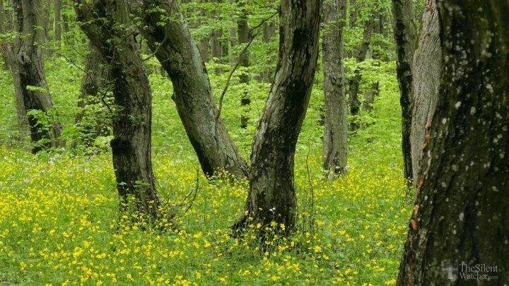 Расслабляющие звуки весеннего леса