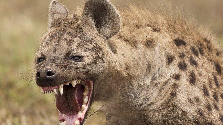 Львица убийца. Бой с гиенами. National Geographic