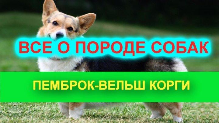 Пемброк вельш-корги .Веселая порода собак.Красота и не только