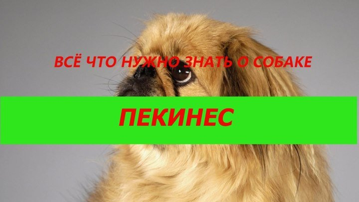 Порода собак.Пекинес.Священная собака китайских императоров