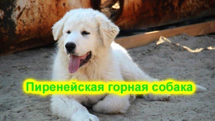 Пиренейская горная собака.Удивительно красивая порода собак