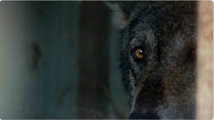 Волка нашли в ледяной воде. То, что случилось потом, задевает душу