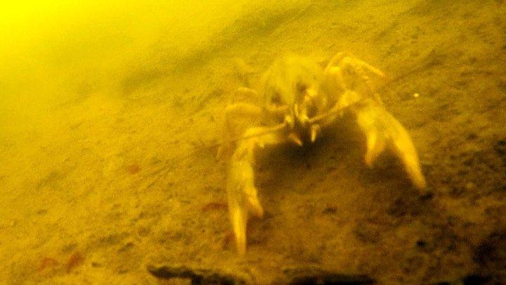 Пресноводный рак под водой, подводные съёмки.