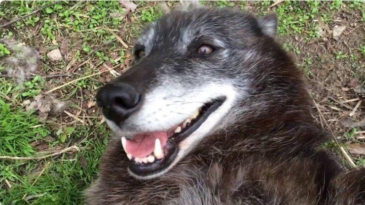 Очень счастливый волк)))