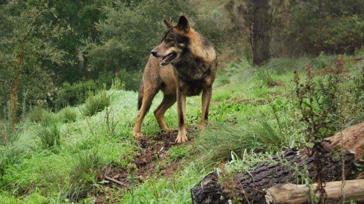 Голый среди волков (2015).HD(драма, военный, история)